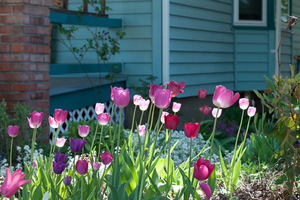 I love the way the light is hitting these tulips.
