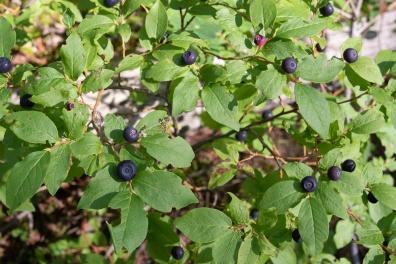 0706-Huckleberries-8